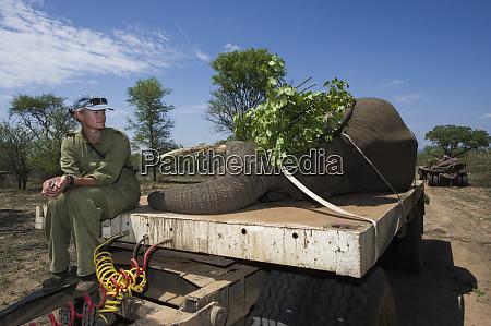 tranquilized african bush elephants loxodonta africana