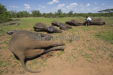 tranquilized elephants loxodonta africana and capture