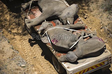 tranquilized elephants loxodonta africana on transporter