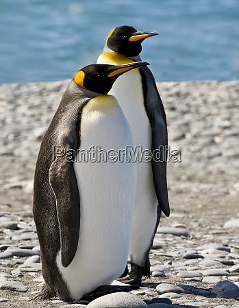 penguin king pair