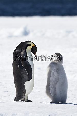 cape washington antarctica emperor penguin chick