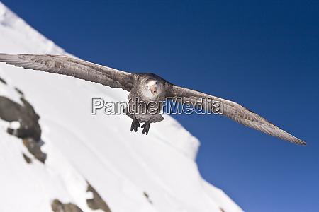 barrientos island antarctica frontal view of