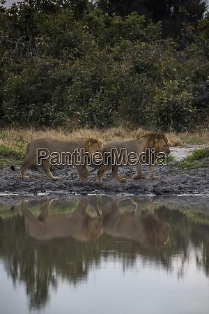 africa botswana chobe national park two