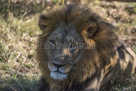 africa botswana moremi game reserve close