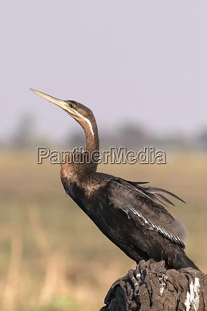 african darter anhinga rufa perched on