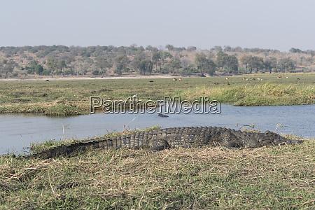 a large nile crocodile crocodylus niloticus