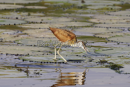 an african jacana actophilornis africanus searches