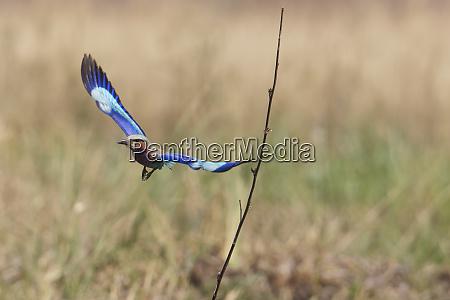 lilac breasted roller coracias caudatus flying