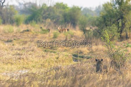 botswana okavango delta khwai concession female