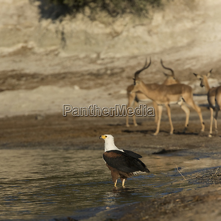 botswana africa african fish eagle standing