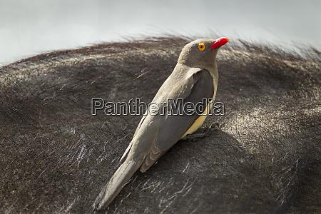 africa botswana chobe national park red