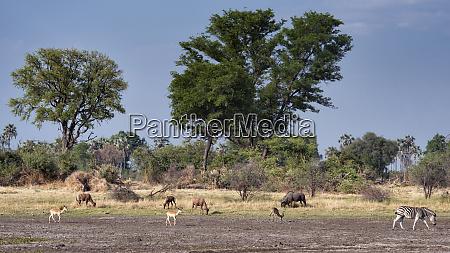 various wildlife grazing in grasslands of