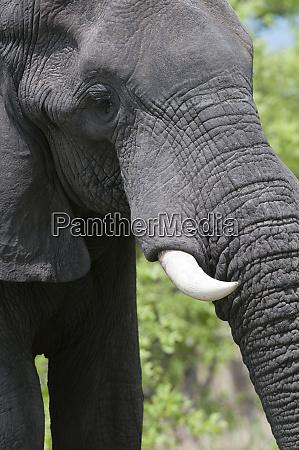 african elephant loxodonta africana khwai concession