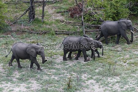african elephants loxodonta africana aerial view
