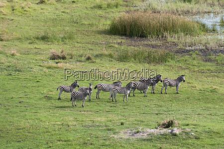 plains zebras equus burchellii aerial view