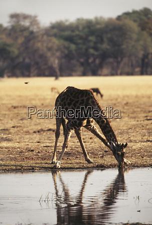 botswana moremi wildlife reserve giraffe giraffa