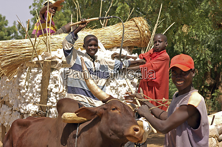 cameroon gayak ox cart pulled by