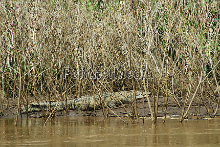 ethiopia omo river basin crocodile