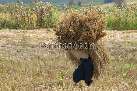 farmer carrying harvest rice bundle shan