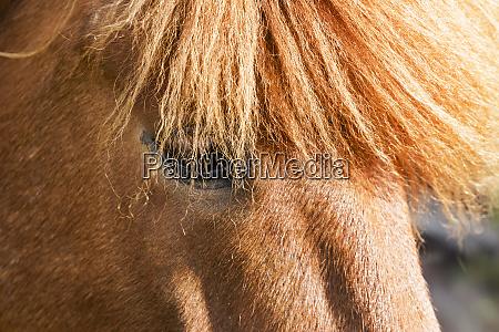 europe iceland lake myvatn icelandic horse