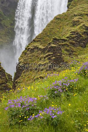 iceland seljalandsfoss waterfall wildflowers