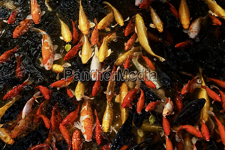 goldfish bai family imperial style restaurant