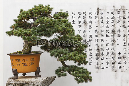 bonsai tree and ancient calligraphy on