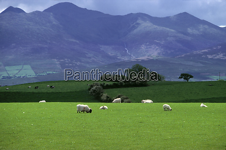 europe ireland macgillacuddys reeks sheep graze