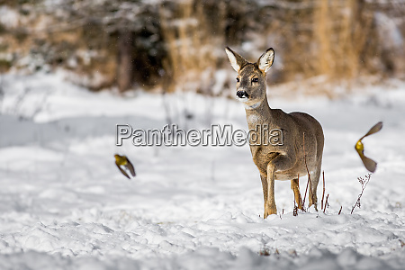 female of roe deer frightening a