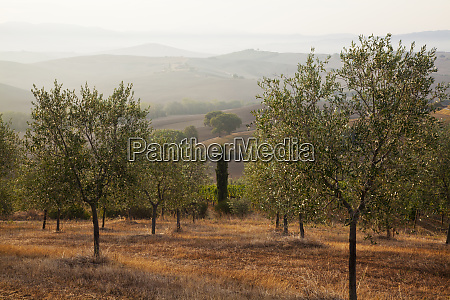 olive grove on the rolling hills