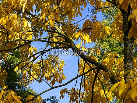 bright yellow autumn foliage of a