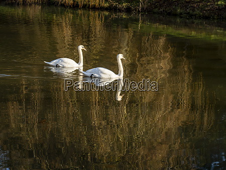 mute swans cygnus olor on a