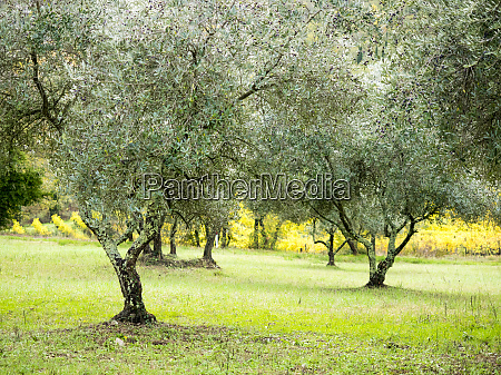 old olive grove on the hills