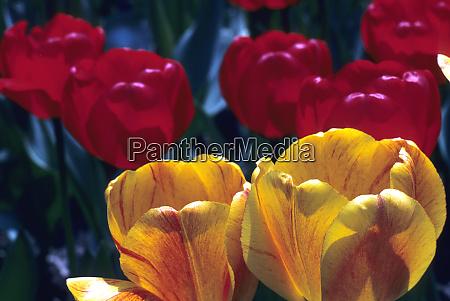 tulips keukenhof garden holland