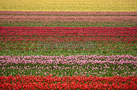 rows and rows of colorful tulips