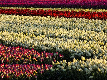 netherlands kop van noord holland tulip