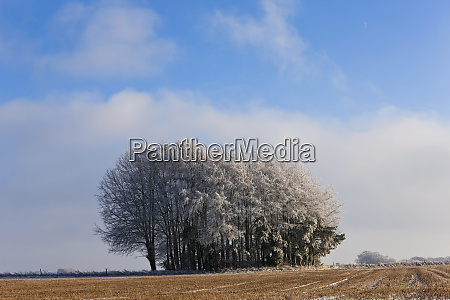 copse of trees in snow and