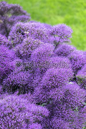 purple throatwort usa