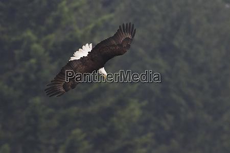 bald eagle diving