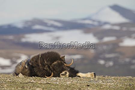musk ox nap on the tundra