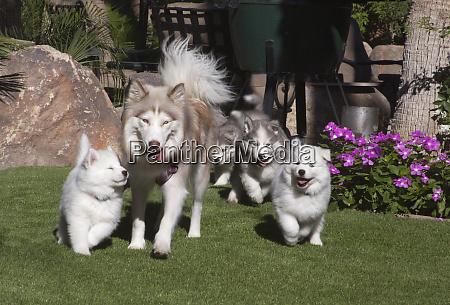 siberian husky mother and puppies pr
