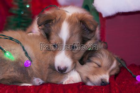 shetland sheepdog puppies pr