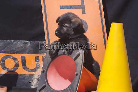 german shepherd puppy pr