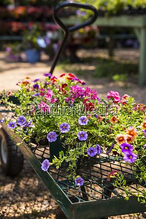 vienna virginia petunia flower pots lay