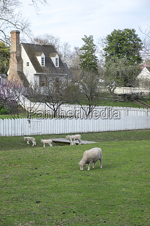 usa virginia williamsburg colonial williamsburg sheep