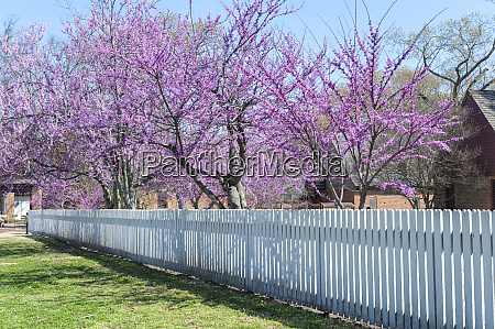 usa virginia williamsburg colonial williamsburg redbud
