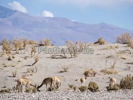 vicuna vicugna vicugna in the altiplano