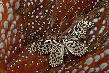 paper kite tropical butterfly on tragopan