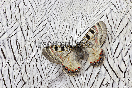 apollo butterfly on silver pheasant feather