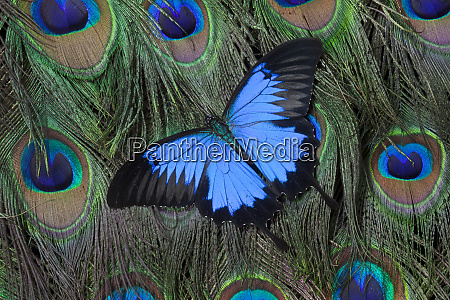 blue mountain swallowtail butterfly papilio ulysses